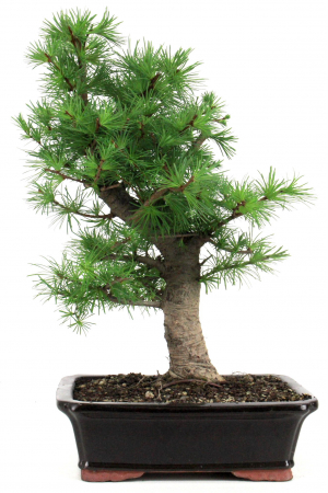 L rchen bersicht onlineshop oyaki bonsai for Bonsai onlineshop