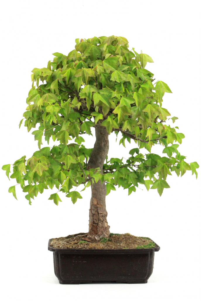 bonsai dreispitz ahorn 57 cm 265 bei oyaki bonsai kaufen. Black Bedroom Furniture Sets. Home Design Ideas