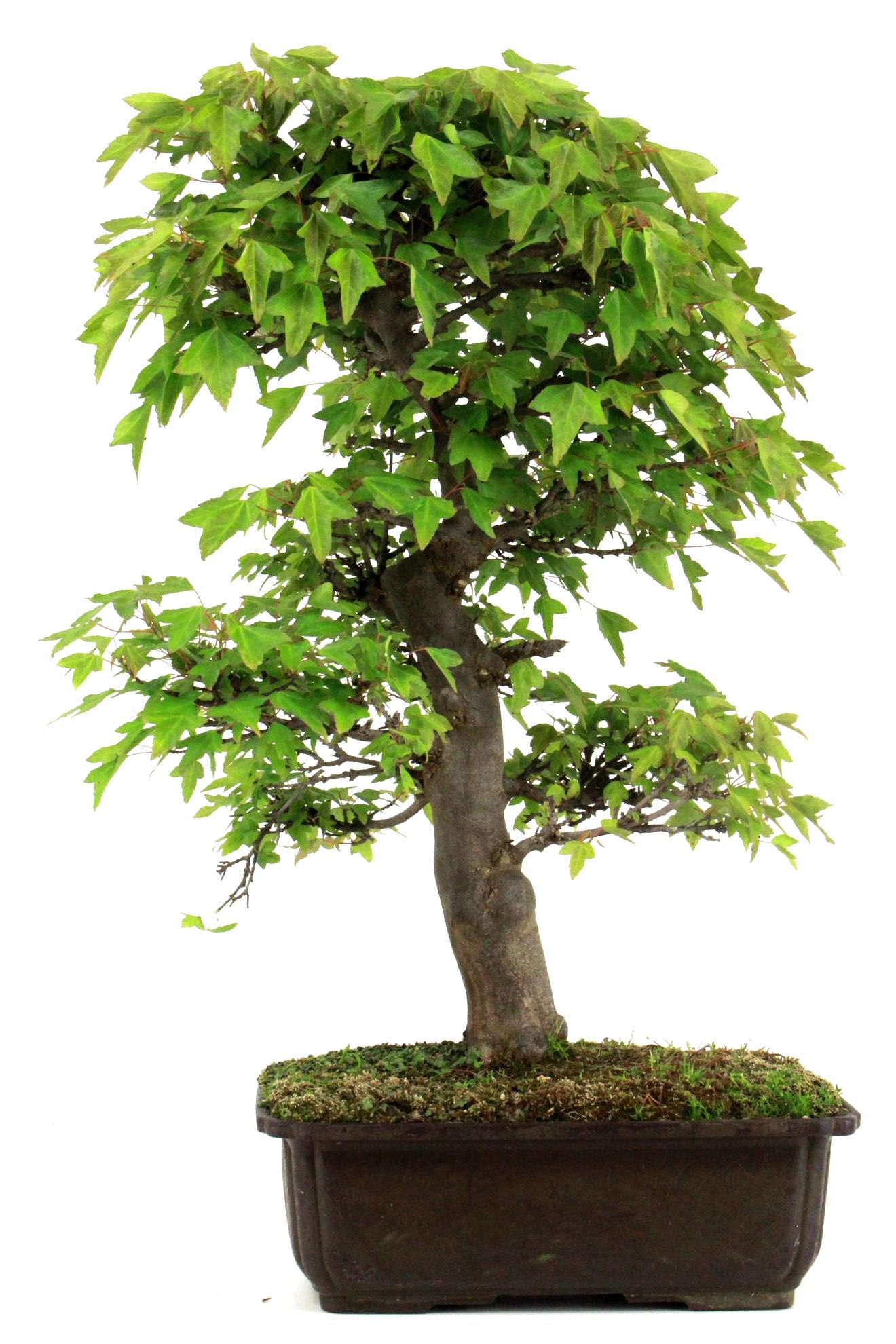 Bonsai dreispitz ahorn 54 cm 267 bei oyaki bonsai kaufen for Bonsai versand