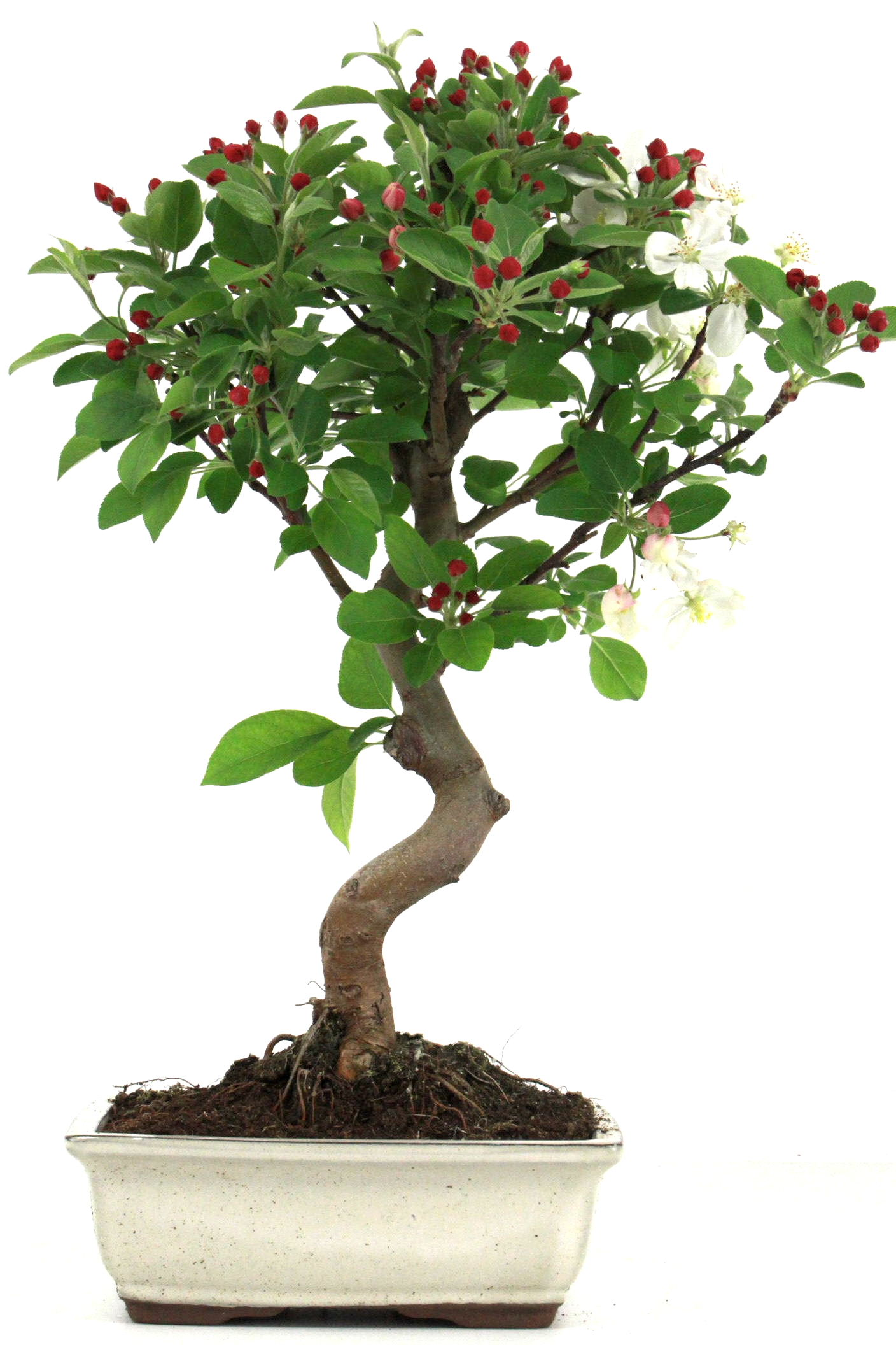 Bonsai apfel malus halliana 40 45 cm 1910 bei oyaki bonsai for Bonsai onlineshop