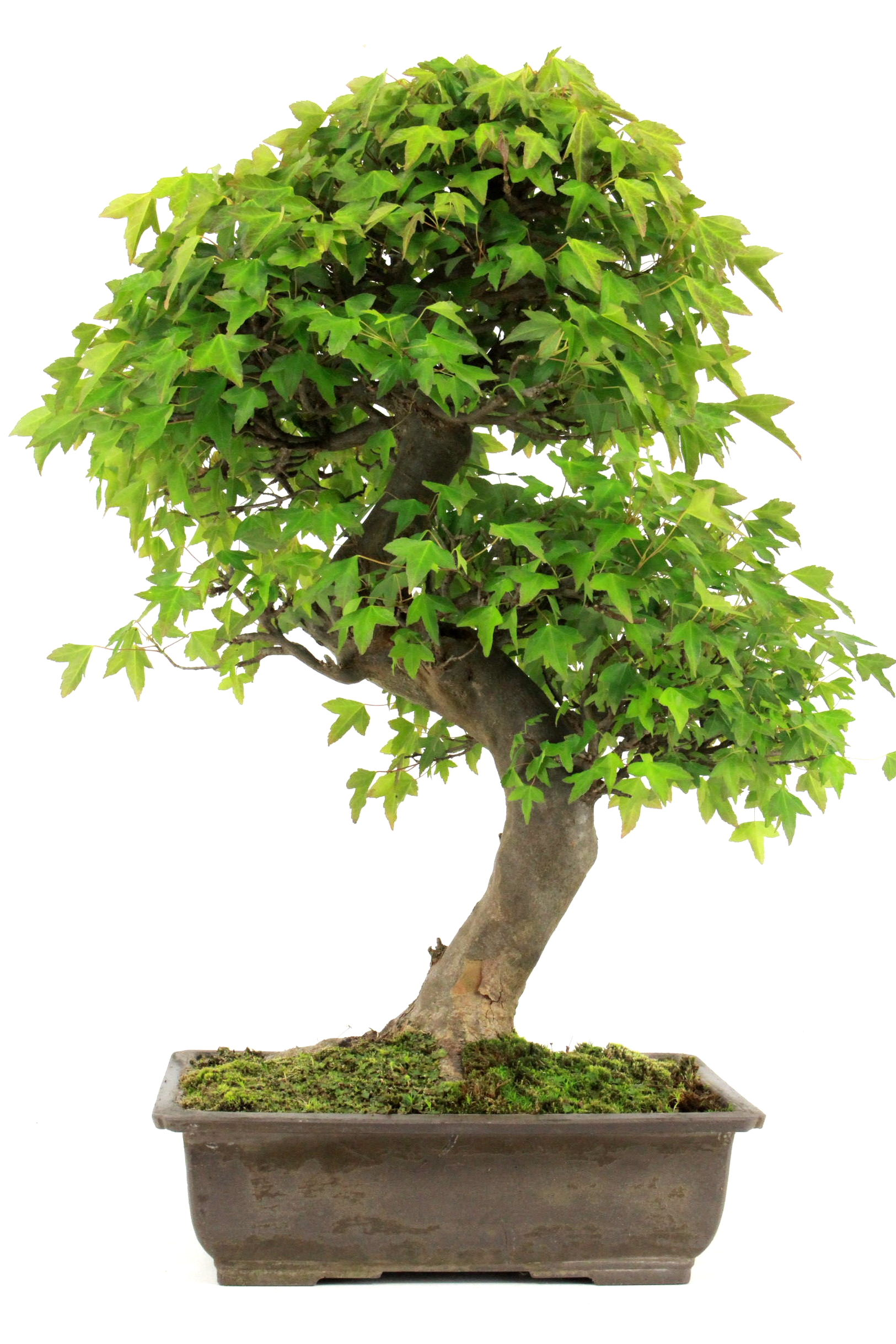 Bonsai dreispitz ahorn 67 cm 329 bei oyaki bonsai kaufen for Bonsai onlineshop