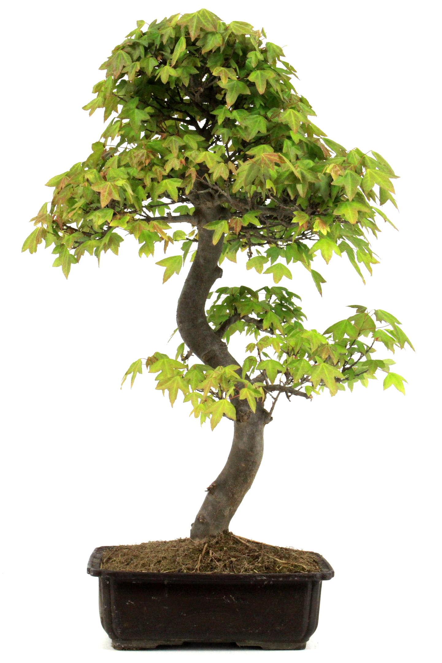 bonsai dreispitz ahorn 68 cm 2611 bei oyaki bonsai kaufen. Black Bedroom Furniture Sets. Home Design Ideas