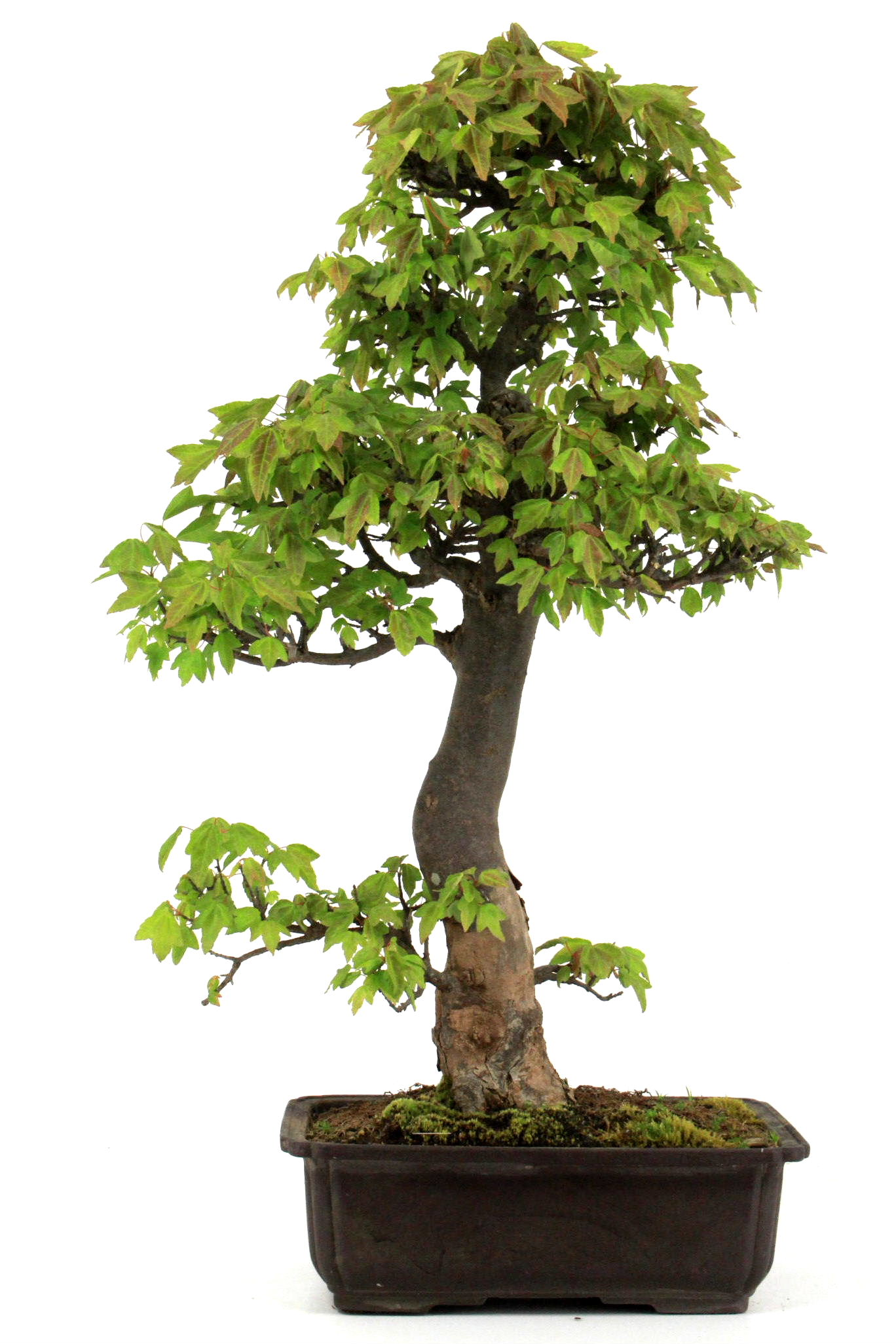 Bonsai dreispitz ahorn 66 cm 2613 bei oyaki bonsai kaufen for Bonsai onlineshop