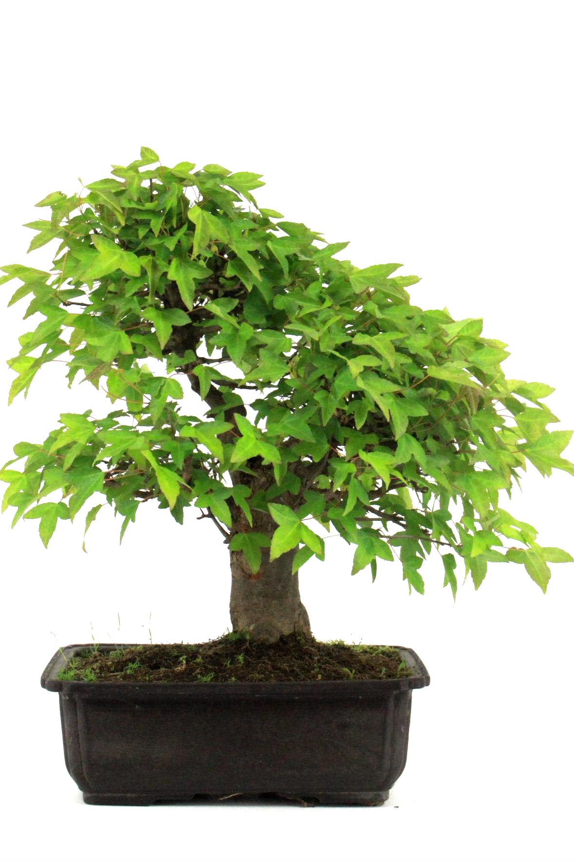 bonsai dreispitz ahorn 45 cm 2614 bei oyaki bonsai kaufen. Black Bedroom Furniture Sets. Home Design Ideas