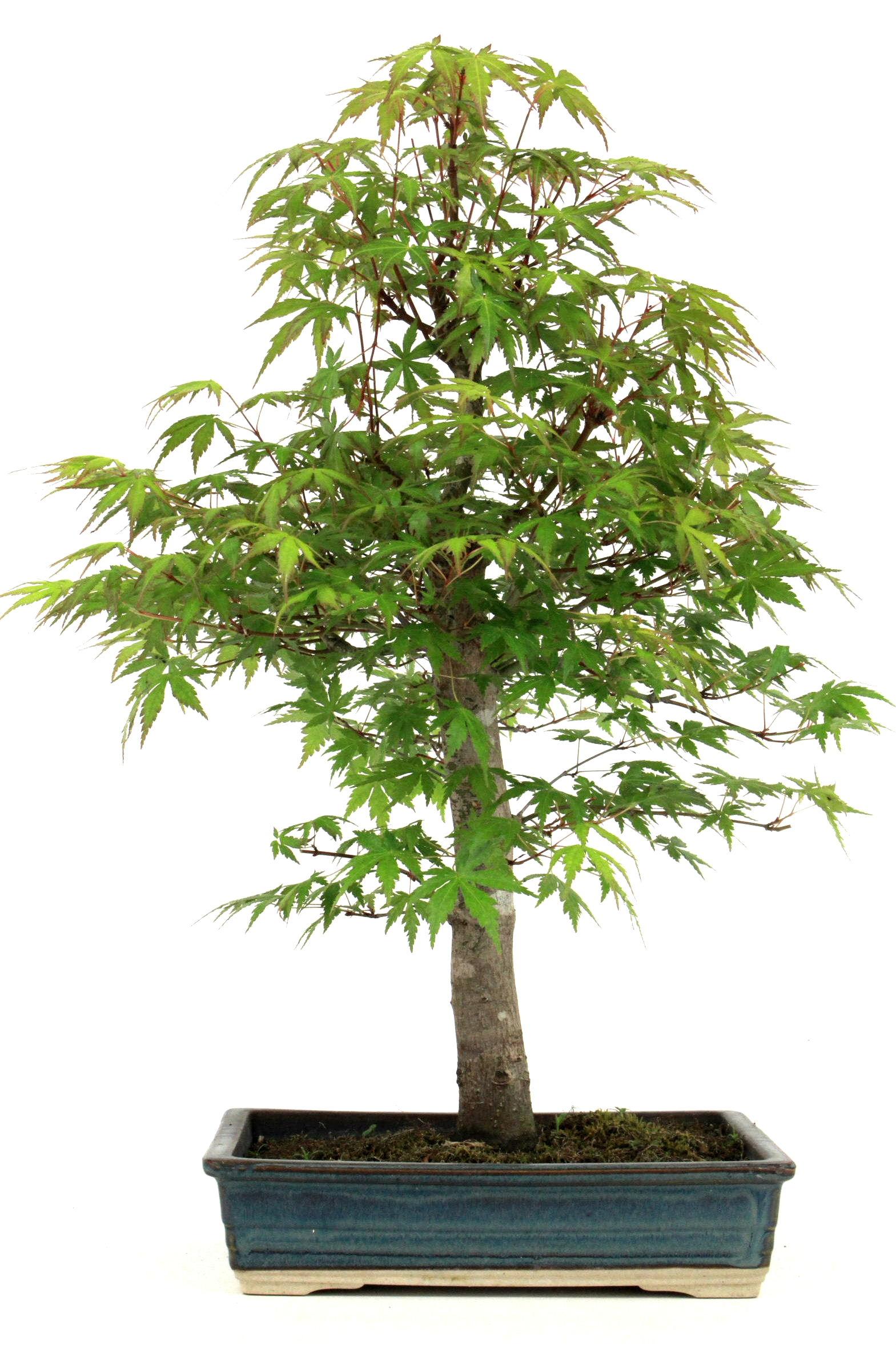 f cherahorn bonsai acer palmatum 55 cm 265 bei oyaki. Black Bedroom Furniture Sets. Home Design Ideas