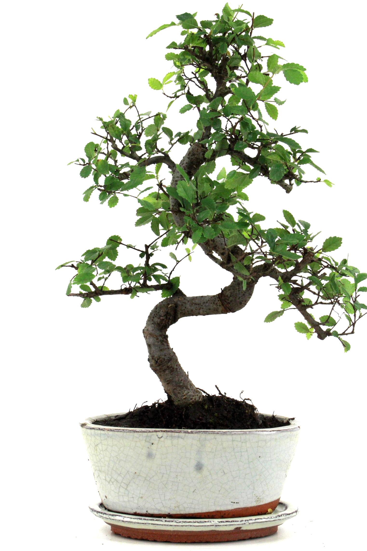 Chinesische ulme bonsai 35 40 cm 1715 bei oyaki bonsai kaufen for Bonsai onlineshop