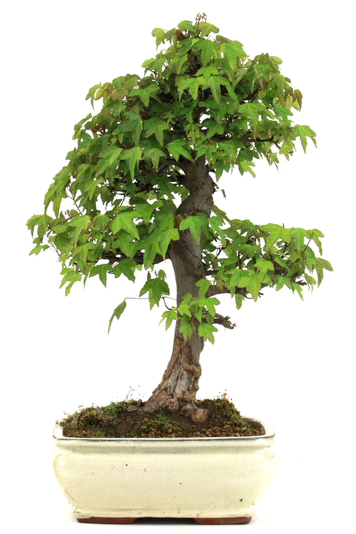Bonsai dreispitz ahorn 54 cm 2624 bei oyaki bonsai kaufen for Bonsai versand