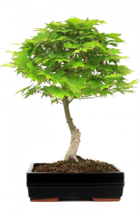 Ahorne bersicht onlineshop oyaki bonsai for Bonsai versand