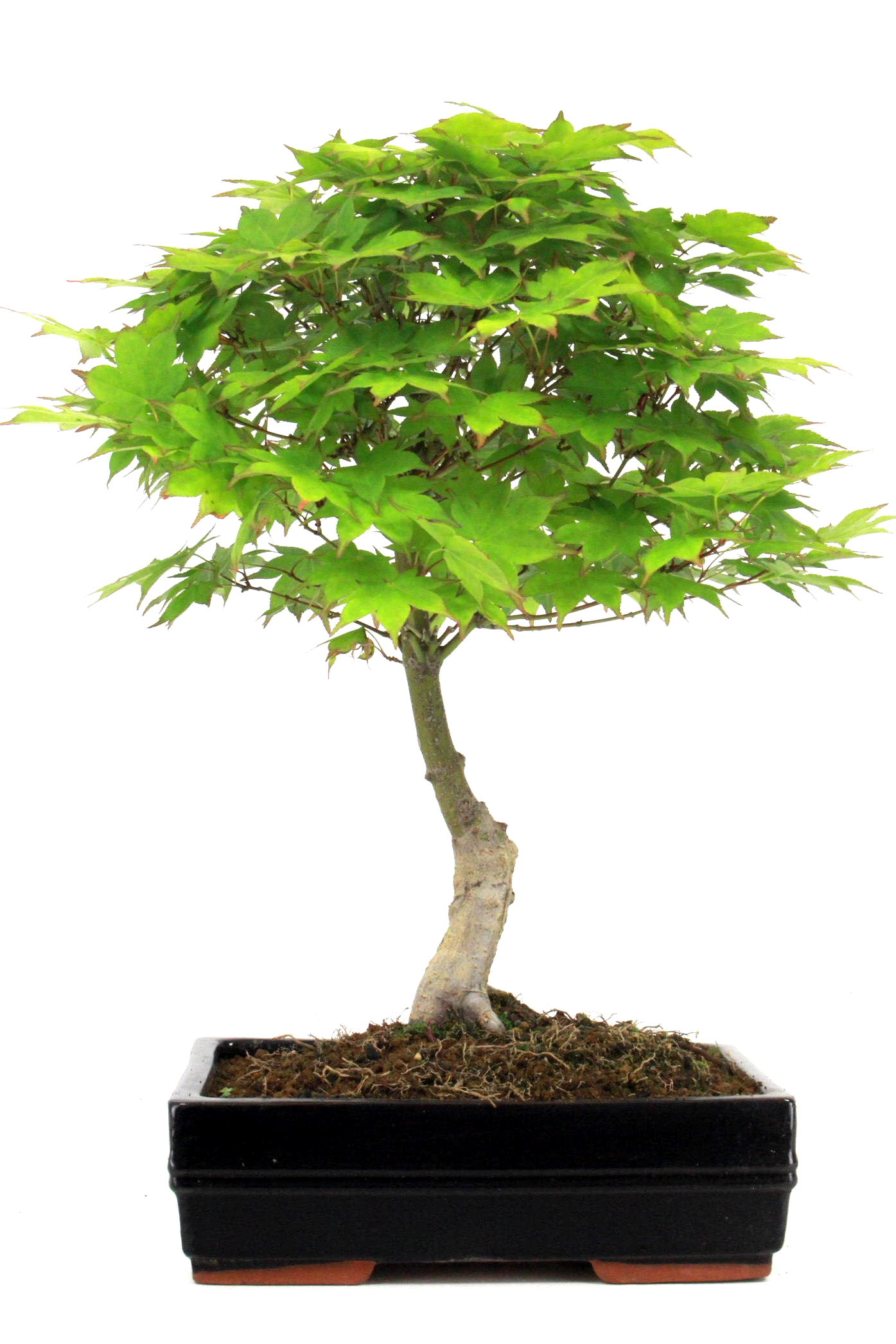 japanischer ahorn bonsai acer japonicum aus japan 50 cm 208 bei oyaki bonsai kaufen. Black Bedroom Furniture Sets. Home Design Ideas