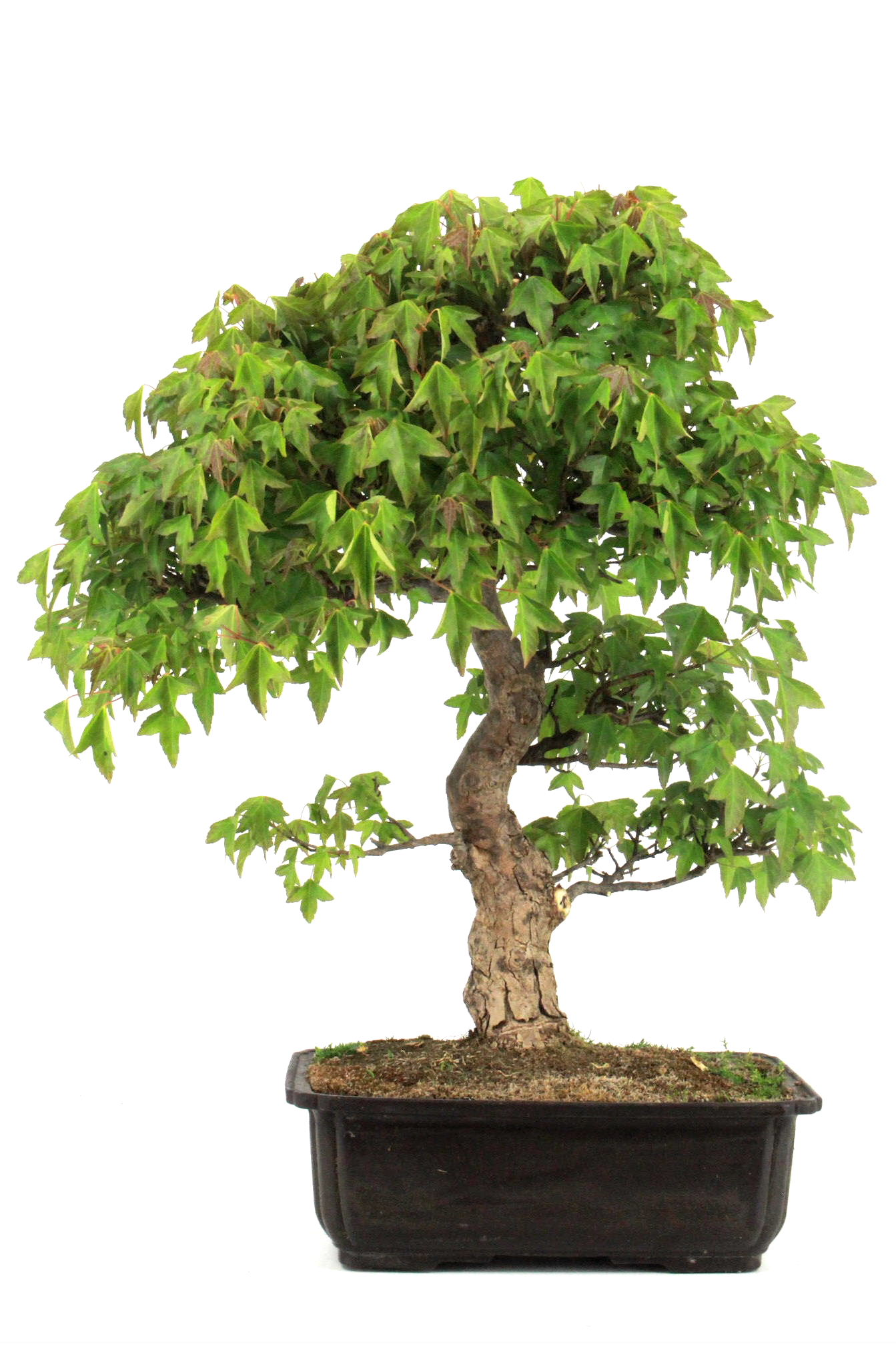 Bonsai dreispitz ahorn 54 cm 2625 bei oyaki bonsai kaufen for Bonsai onlineshop