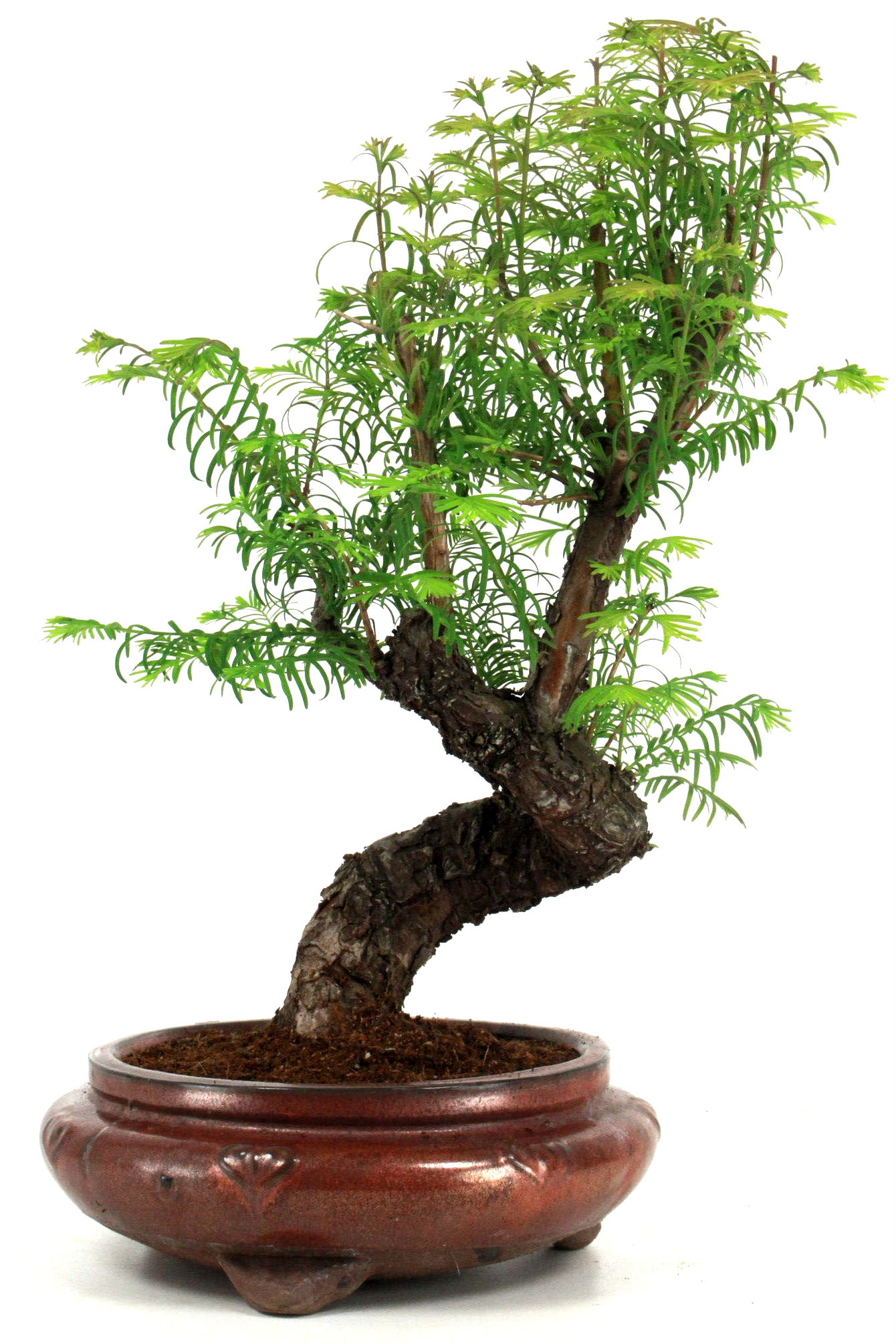 Urweltmammutbaum bonsai 45 cm r223 bei oyaki bonsai kaufen for Bonsai onlineshop