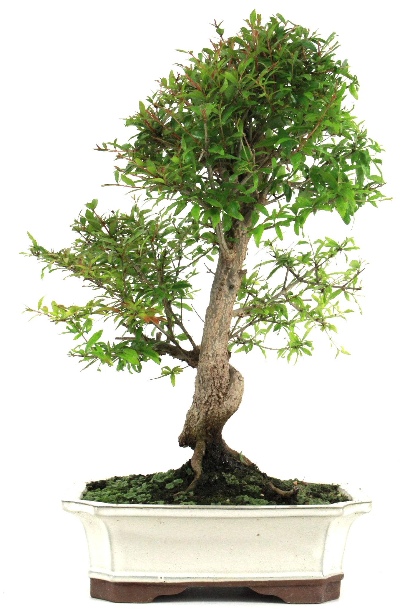 bonsai granatapfel 45 50 cm 272 bei oyaki bonsai kaufen. Black Bedroom Furniture Sets. Home Design Ideas