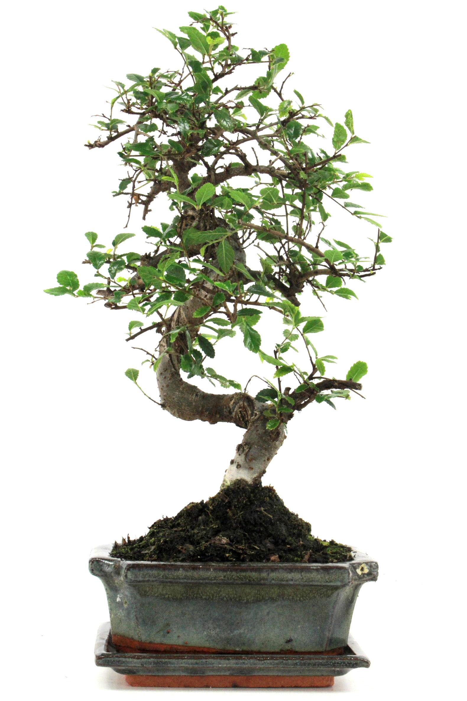 Bonsai chinesische ulme 30 35 cm g164 bei oyaki bonsai kaufen for Bonsai onlineshop
