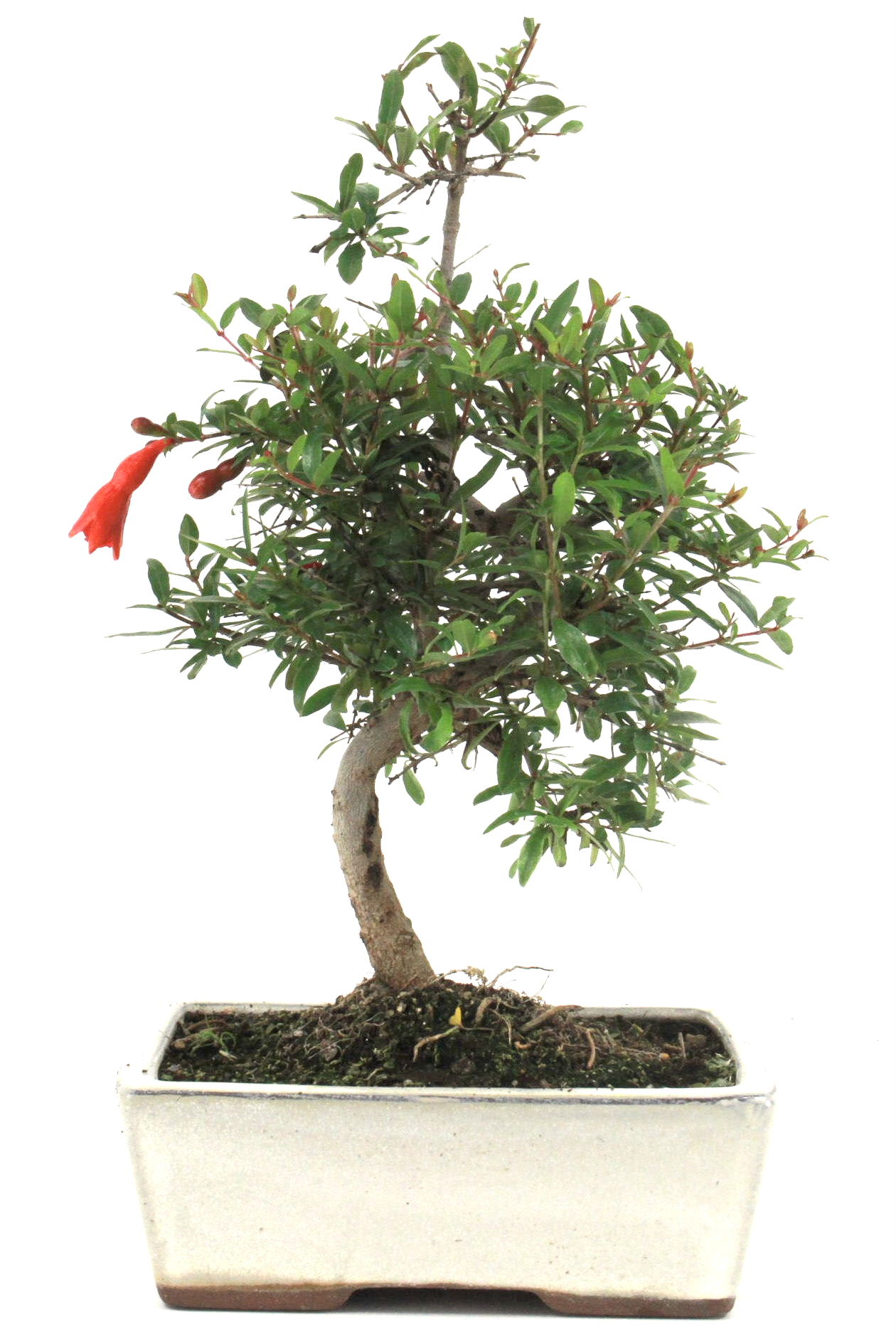 Granatapfel bonsai 25 30 cm 168 bei oyaki bonsai kaufen for Bonsai onlineshop