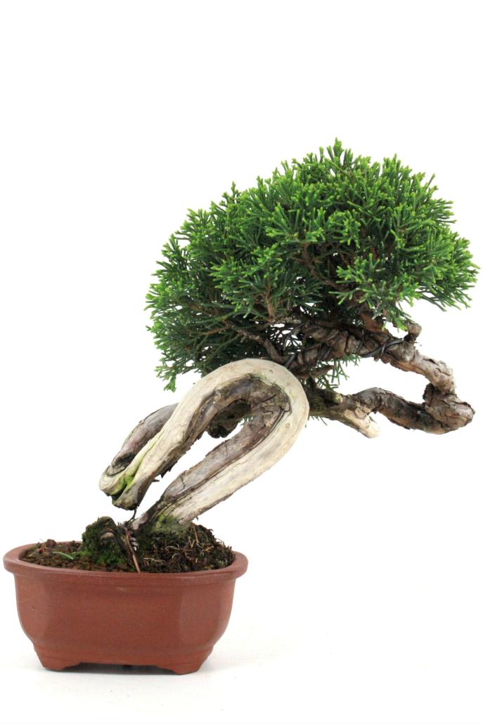 bonsai wacholder juniperus chinensis 25 cm bei oyaki. Black Bedroom Furniture Sets. Home Design Ideas