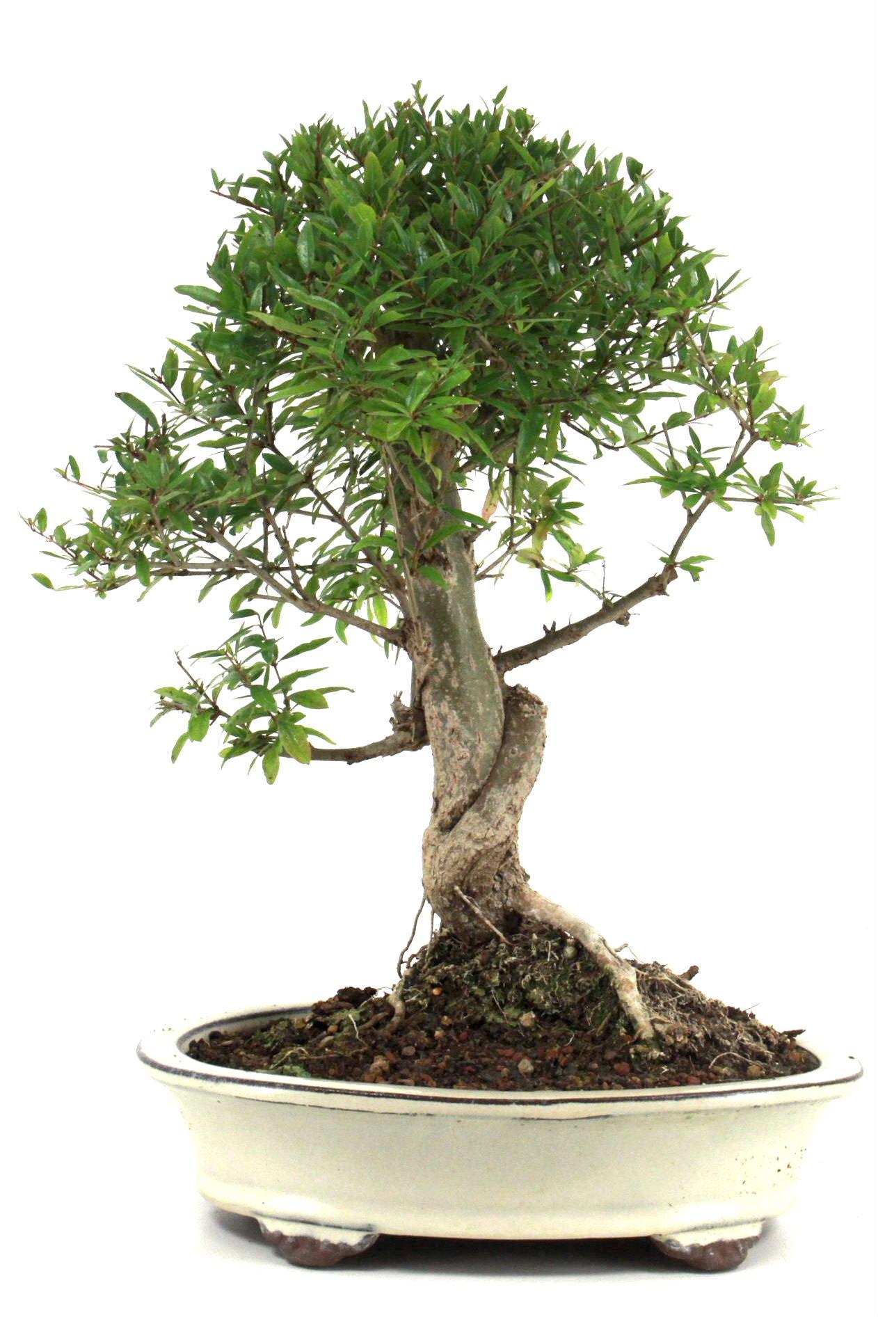granatapfel bonsai 40 45 cm 259 bei oyaki bonsai kaufen. Black Bedroom Furniture Sets. Home Design Ideas