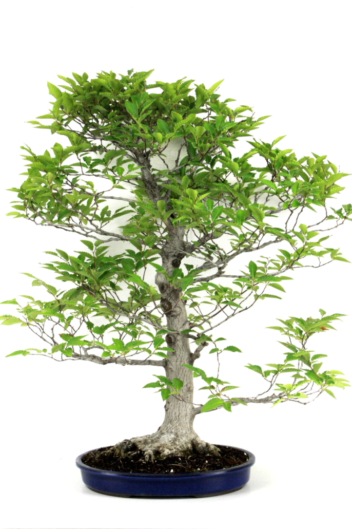 kerbbuche bonsai fagus crenata 95 cm aus japan bei oyaki bonsai kaufen. Black Bedroom Furniture Sets. Home Design Ideas