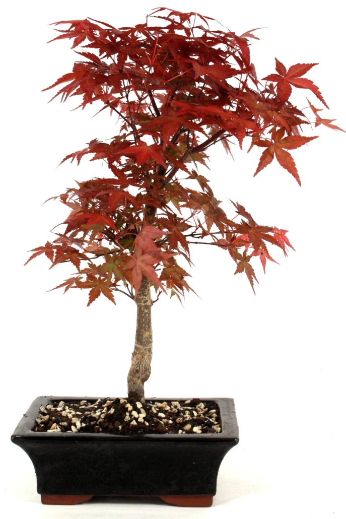bonsai roter faecherahorn deshojo aus japan   cm bei