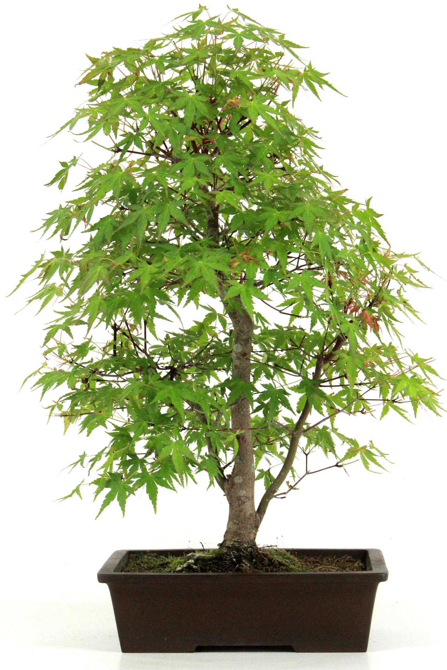 Bonsai Erde 2 L für Jungpflanzen Zimmerbonsai Ficus Serissa Ginko Outdoors